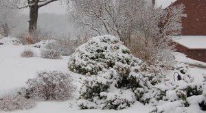 web-Snow-chameacyparis-2-9-